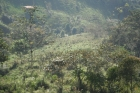 coffee farm for sale, san isidro, perez zeledon, costa rica real estate, fruit farm, 34 acre, bananas, cafe, working farm, farm for sale in san isidro, property for sale in perez zeledon