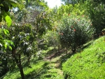 Fruit, hiking, investment, Lagunas, Real Estate in dominical, property in Costa Rica, Gardens and Trails